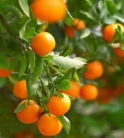 Mandarine- 10ml