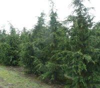 Cypress-10ml