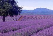 Lavender- 10 ml