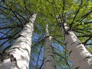 Birch- 10ml